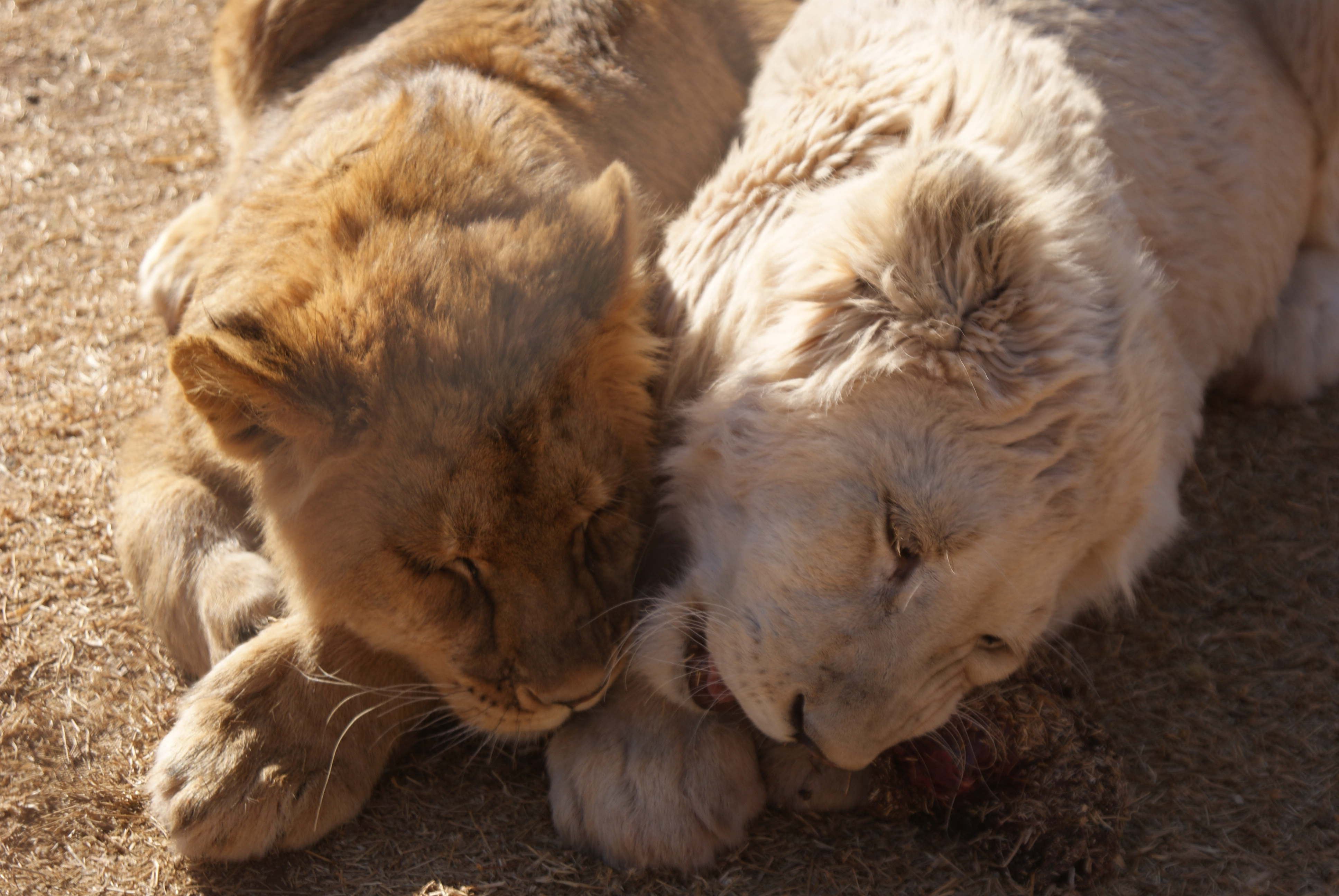 Cutest lion in the world - photo#4